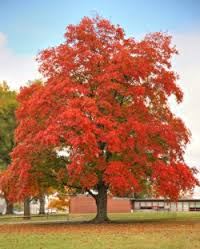maple-tree